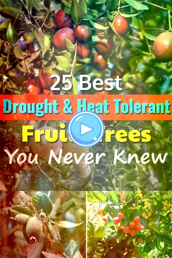 established these 25 best Drought Tolerant Fruit Trees need very occasional or no supplemental watering to grow and produce fruitsOnce established these 25 best Drought T...