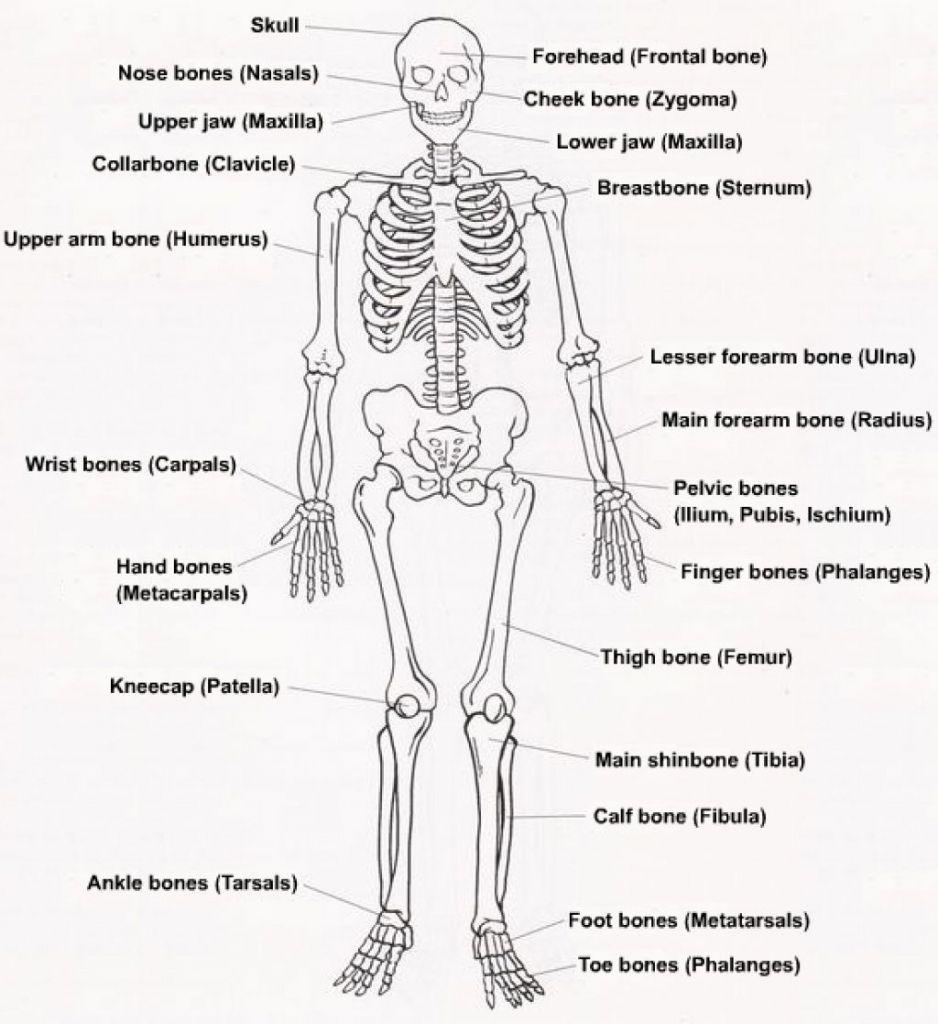 The Skeletal System Diagram Labeled Human Skeleton Labeled