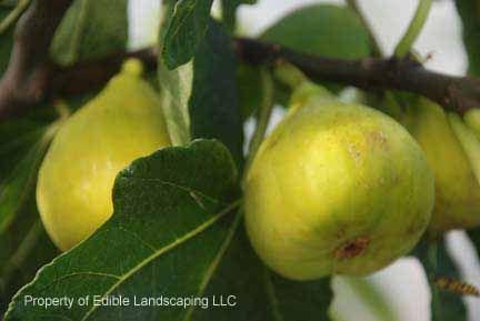 Oregon Prolific Fig