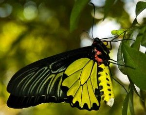 Yellow & Black Butterfly