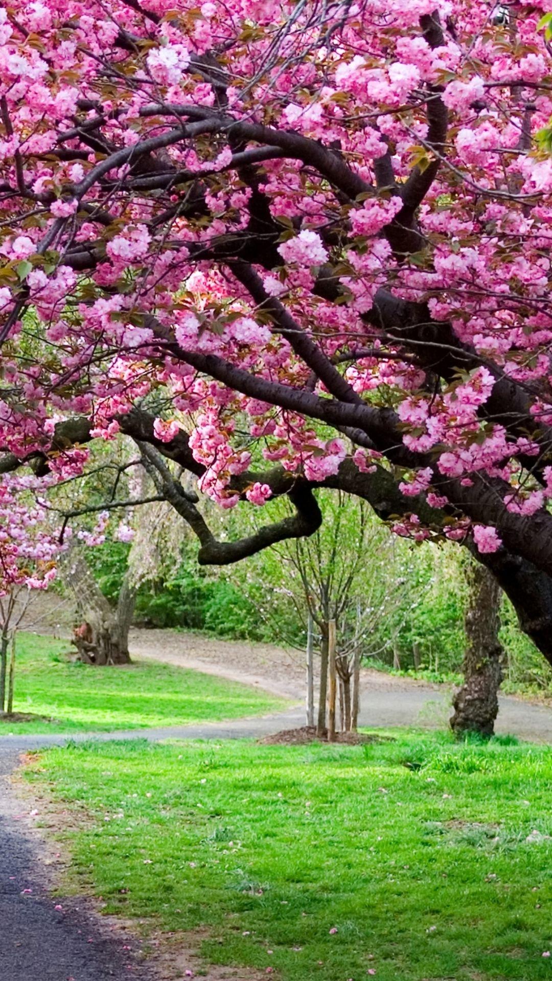 Sakura Spring 4k Japan Path Park Cherry Blossom Cherry