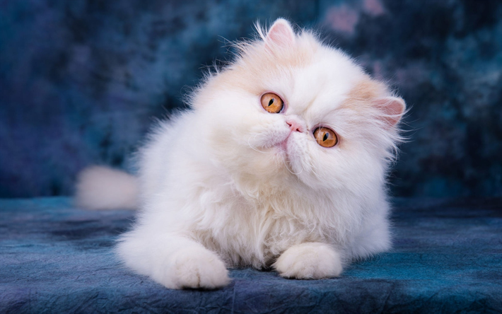 Download Wallpapers Persian Cat Close Up Yellow Eyes Fluffy Cat