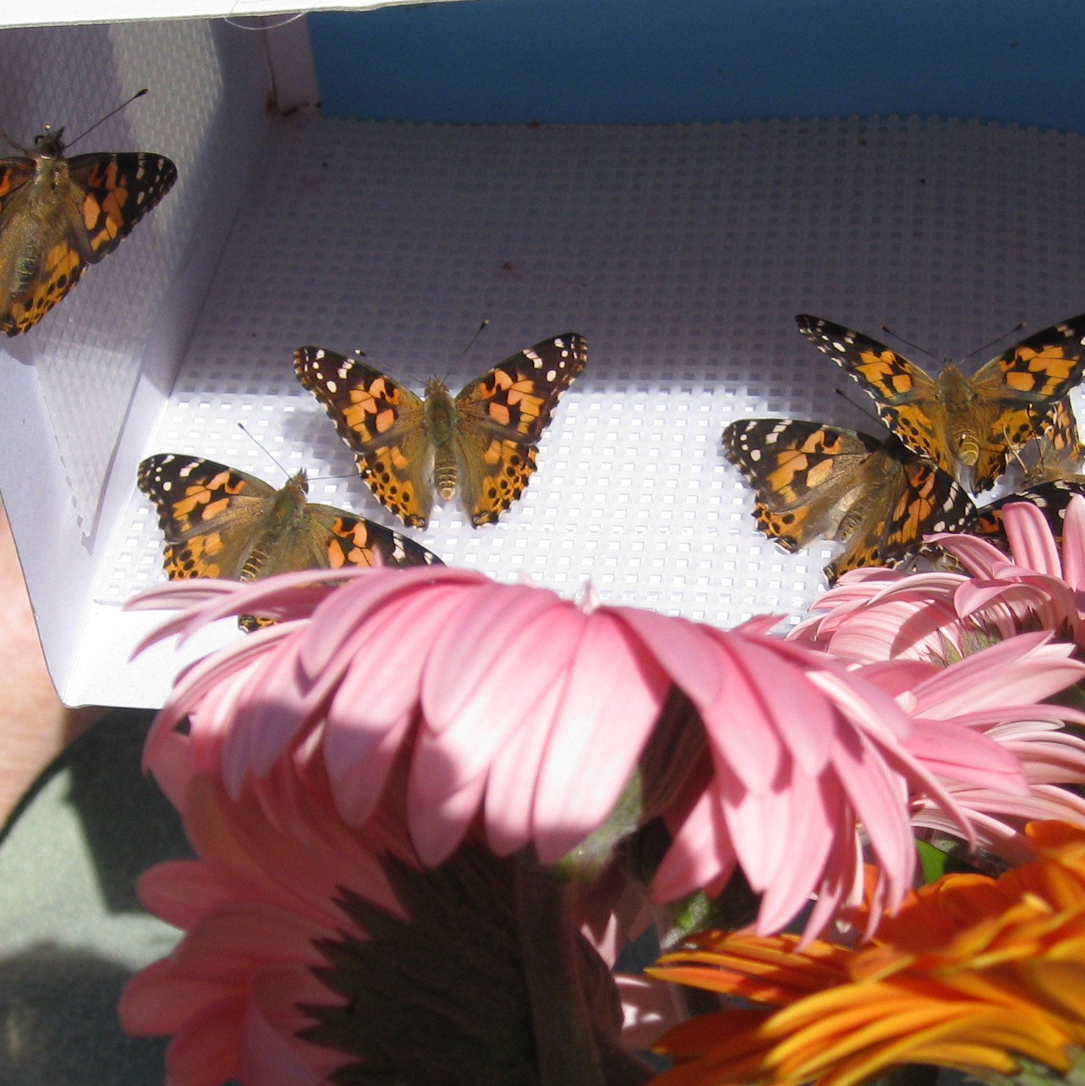 70 Painted Ladies Butterflies Butterfly, Woman painting