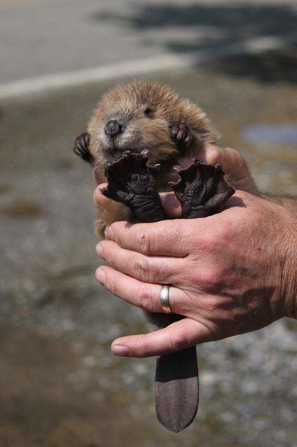 30 Of The Most Awwwdorable Baby Beavers #cutecreatures
