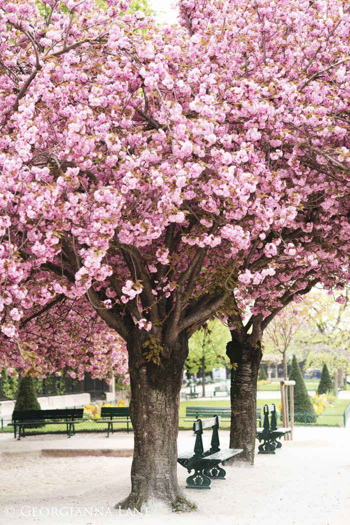 April In Paris Clouds Of Pink Georgianna Lane Blossom Trees Springtime In Paris Tree