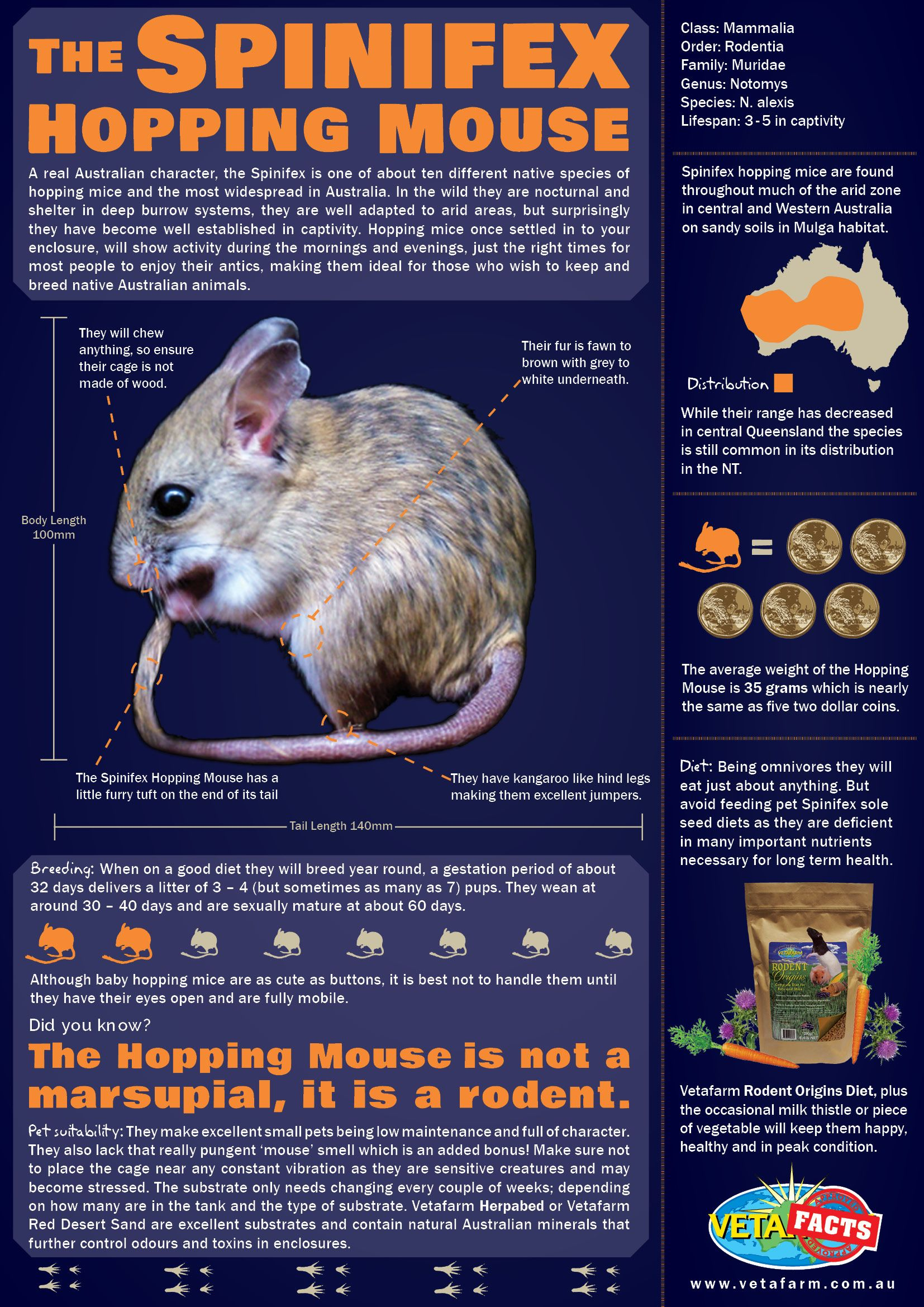 The Spinifex Hopping Mouse A Real Australian Character They