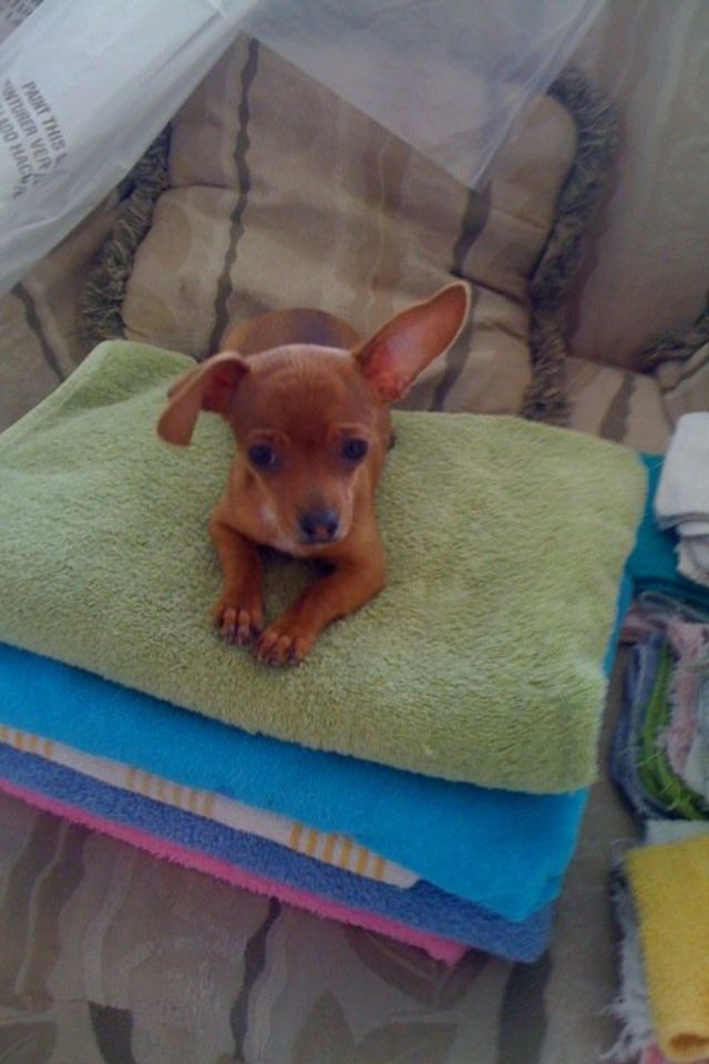 Big N Our Toy Chiwinnie Sweet Baby Chiweenie Pets Furry