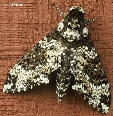 Manduca rustica - RusticSphinx-Simons.jpg This showed up on a basket on my front gate yesterday!  I had lots of people looking for the name of the critter! So unusual!!