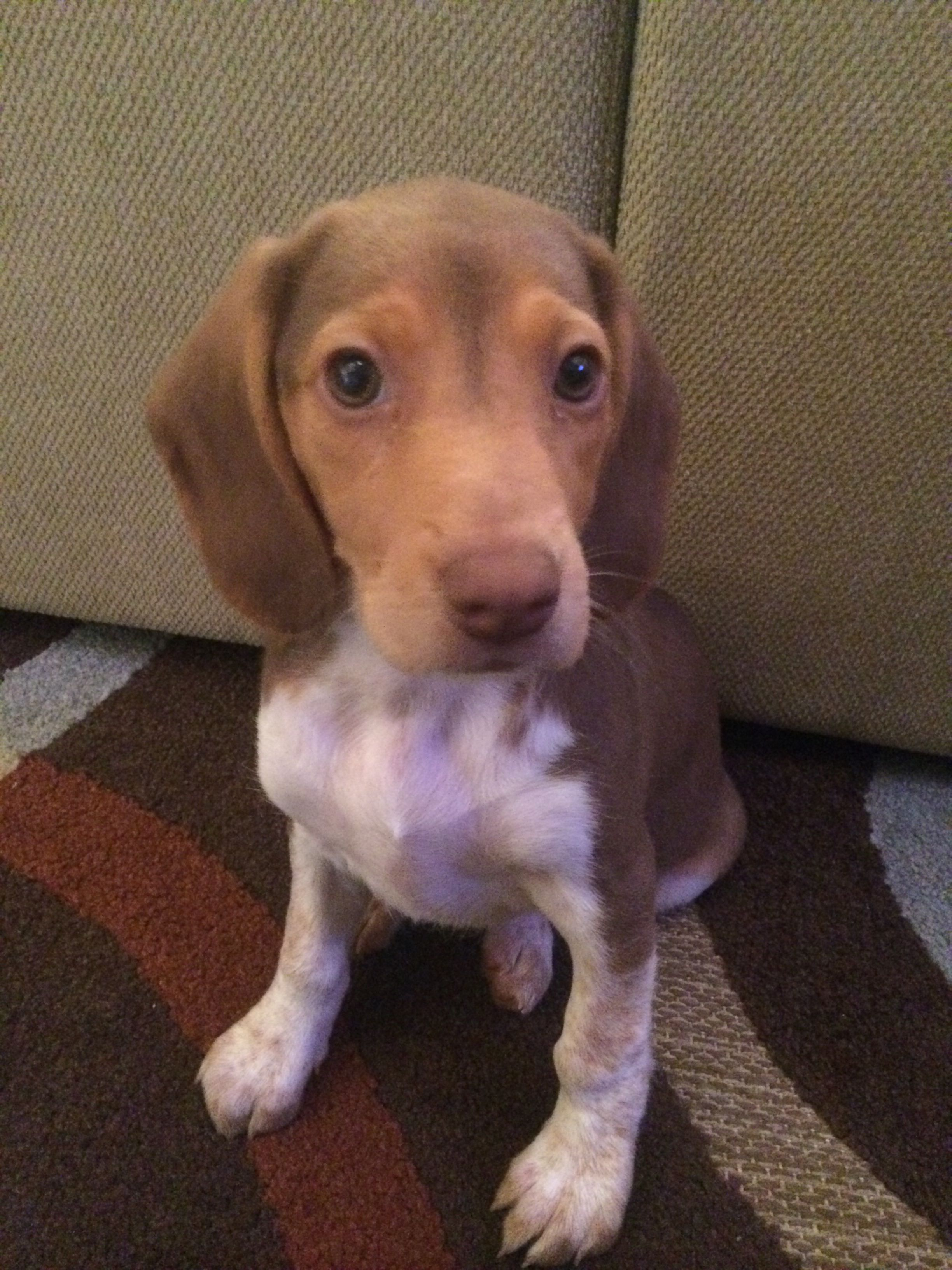 Beagle Dog Breed Information Beagle Dog Breed Beagle Dog