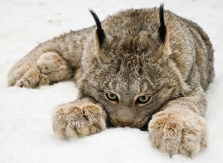 """Résultat de recherche d'images pour """"chat caille"""""""