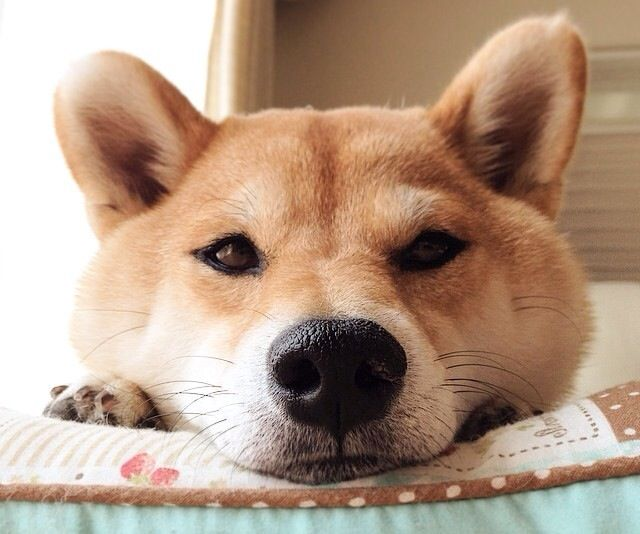 What Could She Be Possibly Thinking Cute Animals Japanese Dogs