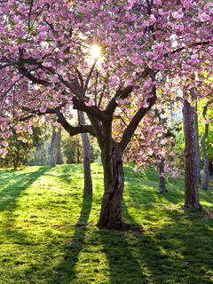 Pin On Cherry Trees