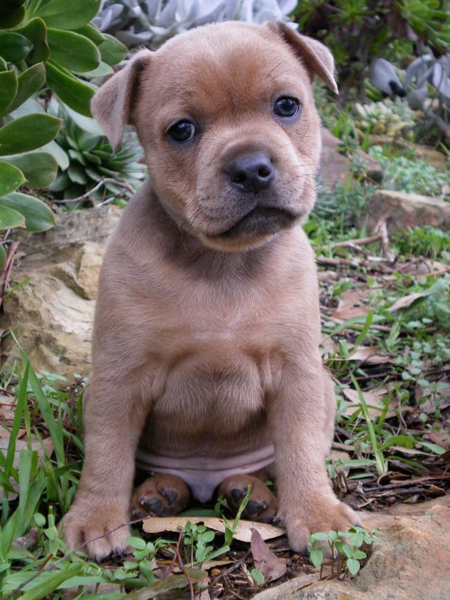 Happy Staffy Grozbolt Staffordshire Bull Terriers Victoria Australia Staffy Pups Cute Animals