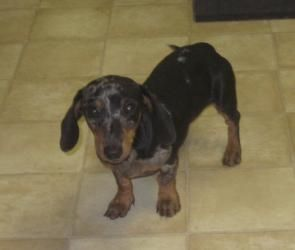 Allie Mae Is An Adoptable Dachshund Dog In Warsaw Mo Allie Mae