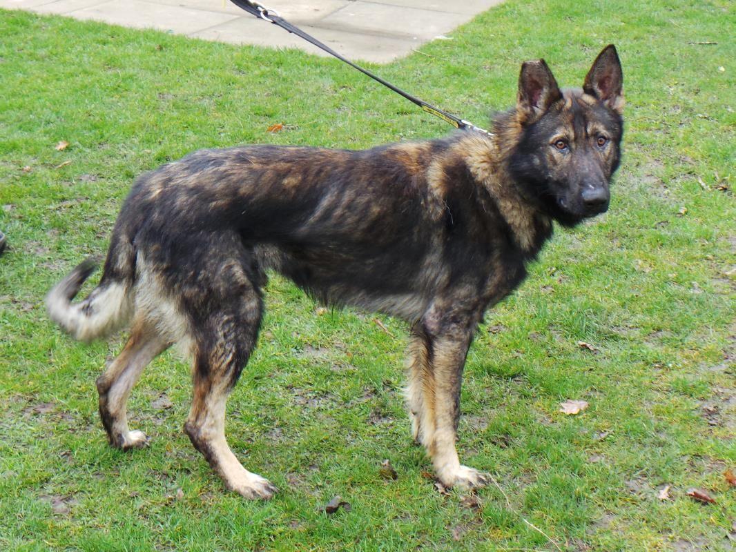 Adopt A Dog Tate German Shepherd Dog Gsd Alsatian Dogs Trust Dogs Dog Adoption Dogs Trust