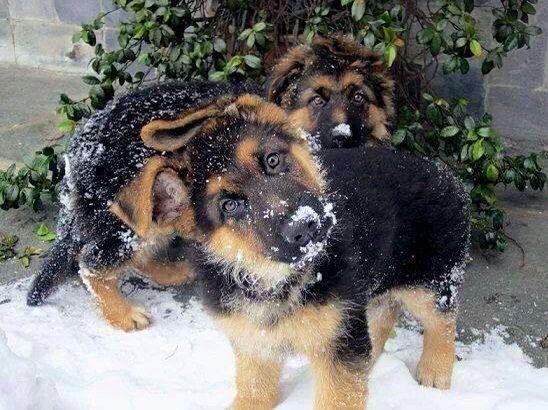 German Shepard puppies in snow