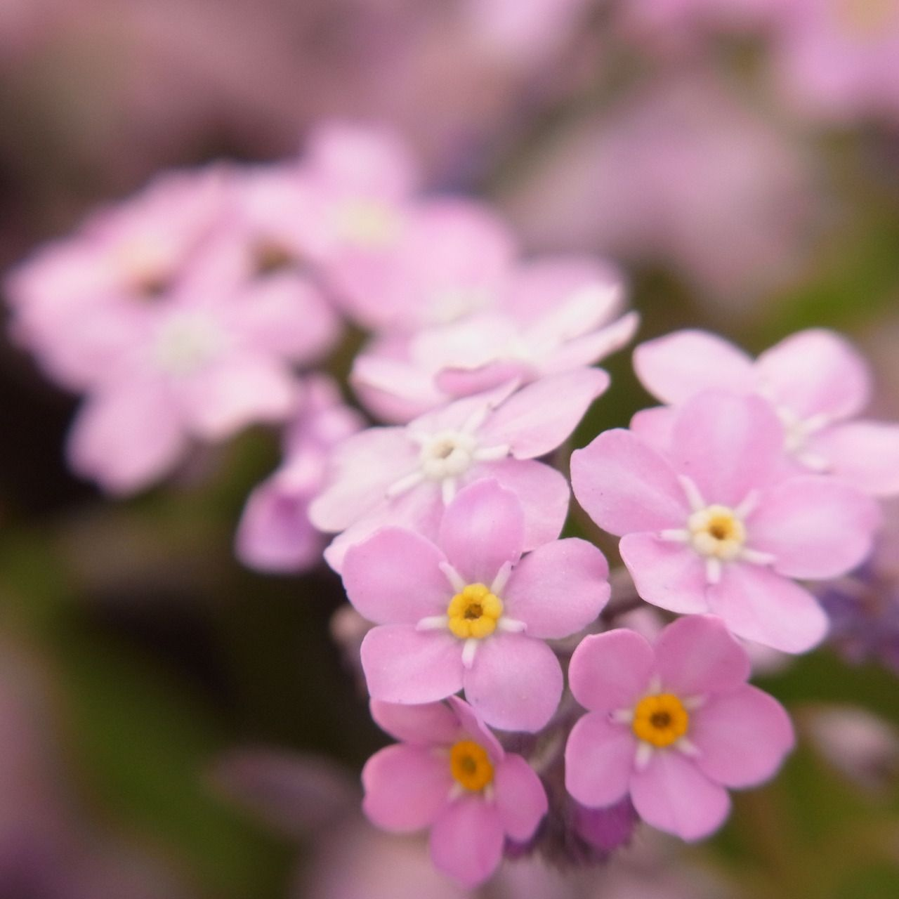 Flower P Pinterest Flower Forget And Flowers