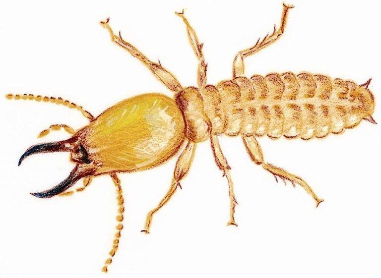 شركة مكافحة النمل الابيض بصفوي و ام الساهك 0500495681 المثالي شركة المثالي Termite Control Termite Infestation Termites