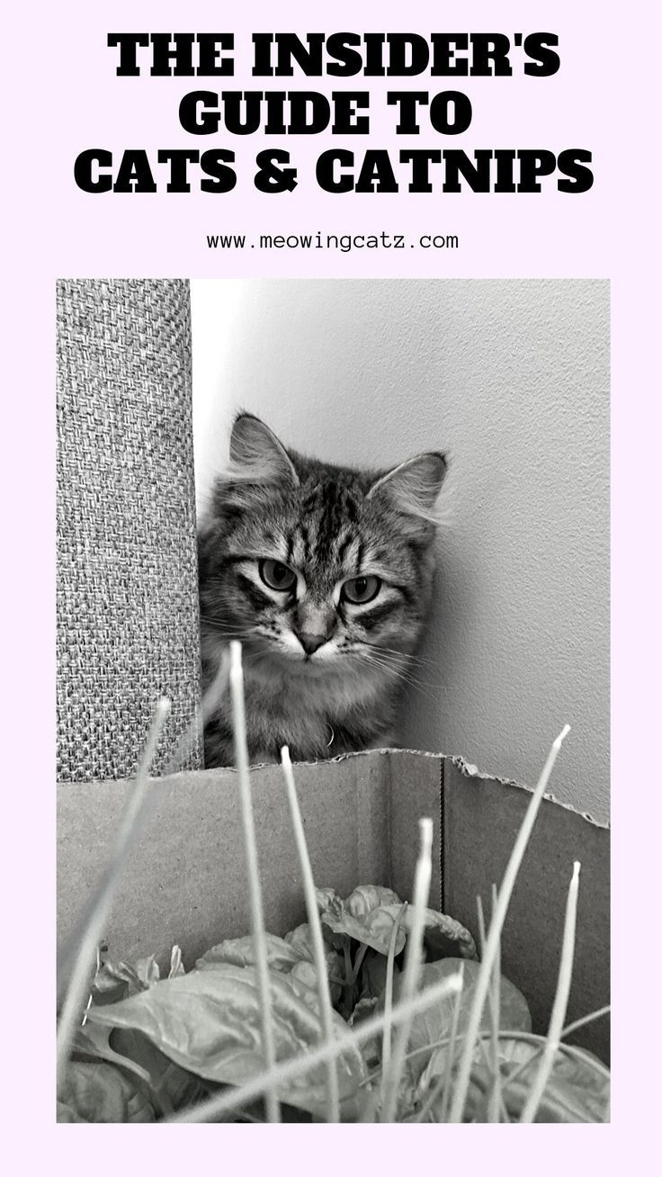 Cats and Catnip why do cats like catnip? Cat behavior