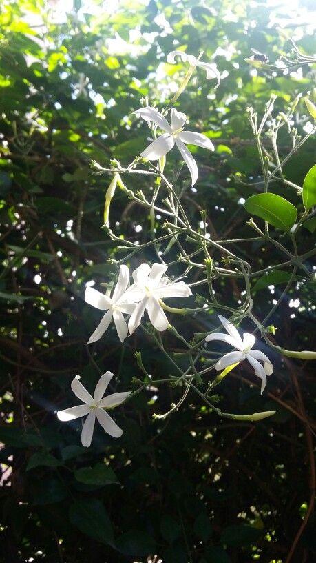 Jasmim-estrela - trepadeira - possuí um aroma inconfundível. Jardim em detalhes