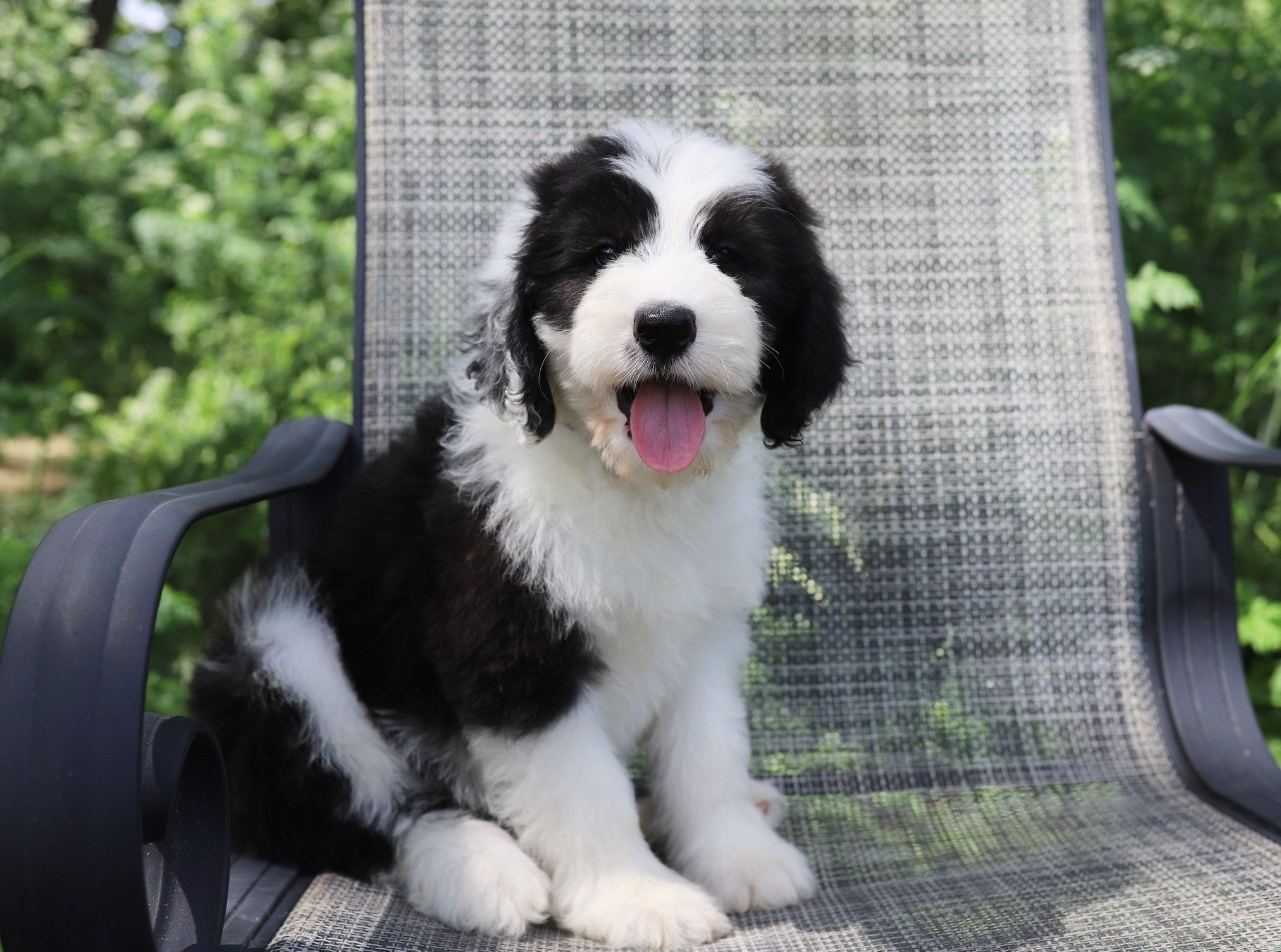 F1 Standard Sheepadoodle Puppy From My Fair Doodles