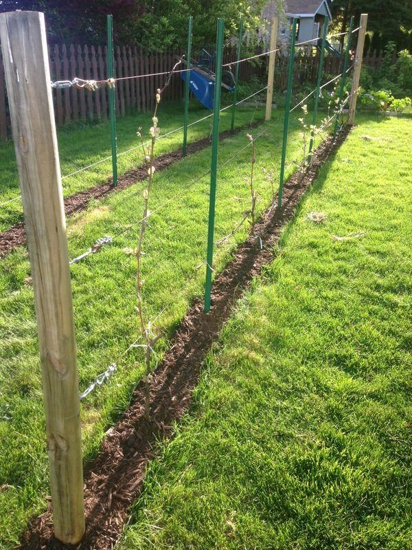 A grape vine trellis in my garden   Vine trellis, Grape ...