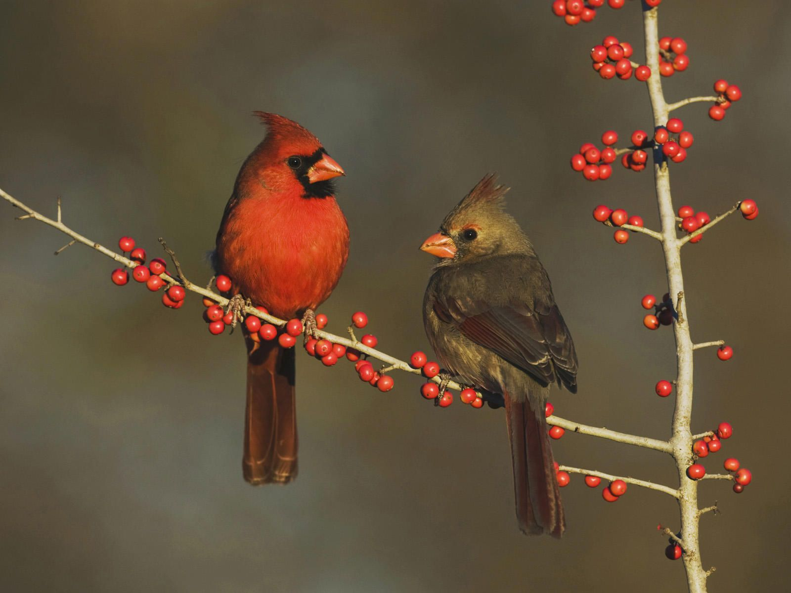 Male And Female Cardinal With Images Birds Cardinal Birds