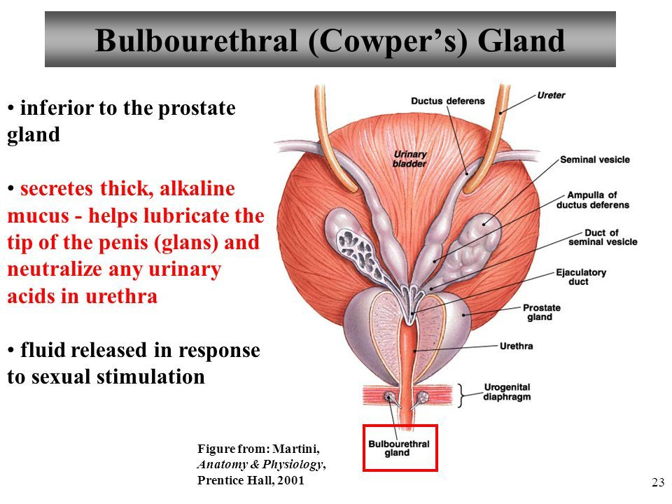 Image result for cowpers glands lab model | Anatomy | Pinterest