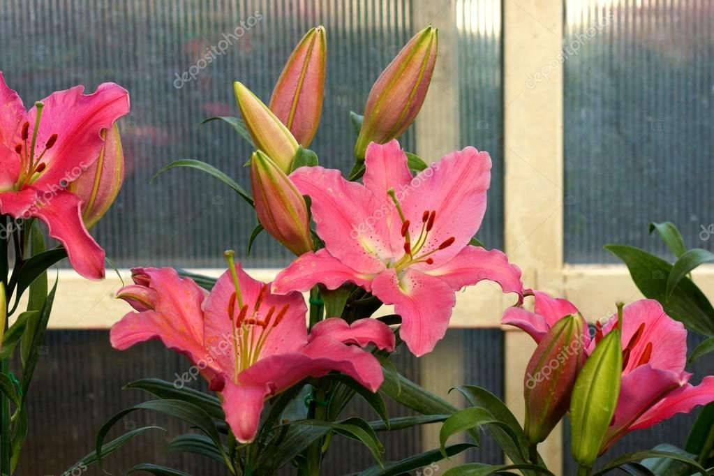 Red Lily Flower 4K 5K HD Flowers Wallpapers   HD