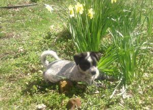 Adopt Abby On Pet Supplies Info Adoptable Dachshund Dog