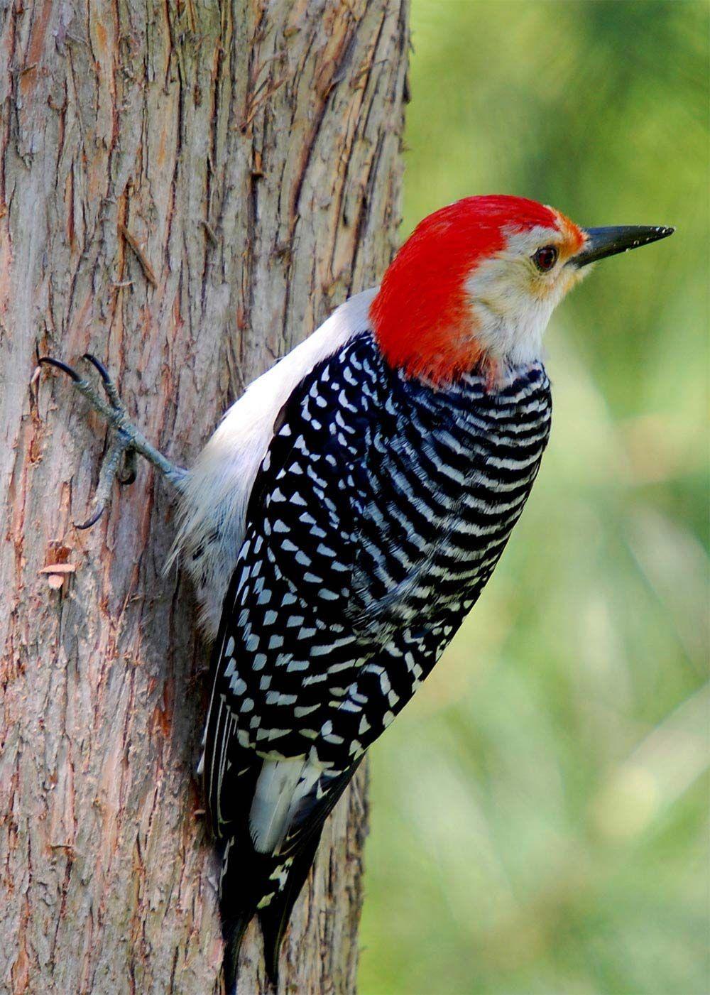 Super Resultado de imagem para passaros mais raros mundo | Birds  CD45