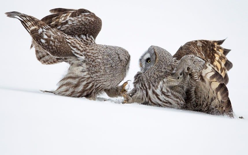 British  wildlife photographer Jules Cox annually visits Lapland in the winter time hoping to shoot  Great Grey Owls but had not yet had any luck. He again travelled to Finland this year and managed to photograph the Northern Lights - but the owls evaded him once more. However, just a few weeks after returning home he was informed by a Finnish friend that the owls had been spotted hunting there. He immediately booked a flight, hoping we could realise his ambition. 'The gamble paid off,' he…