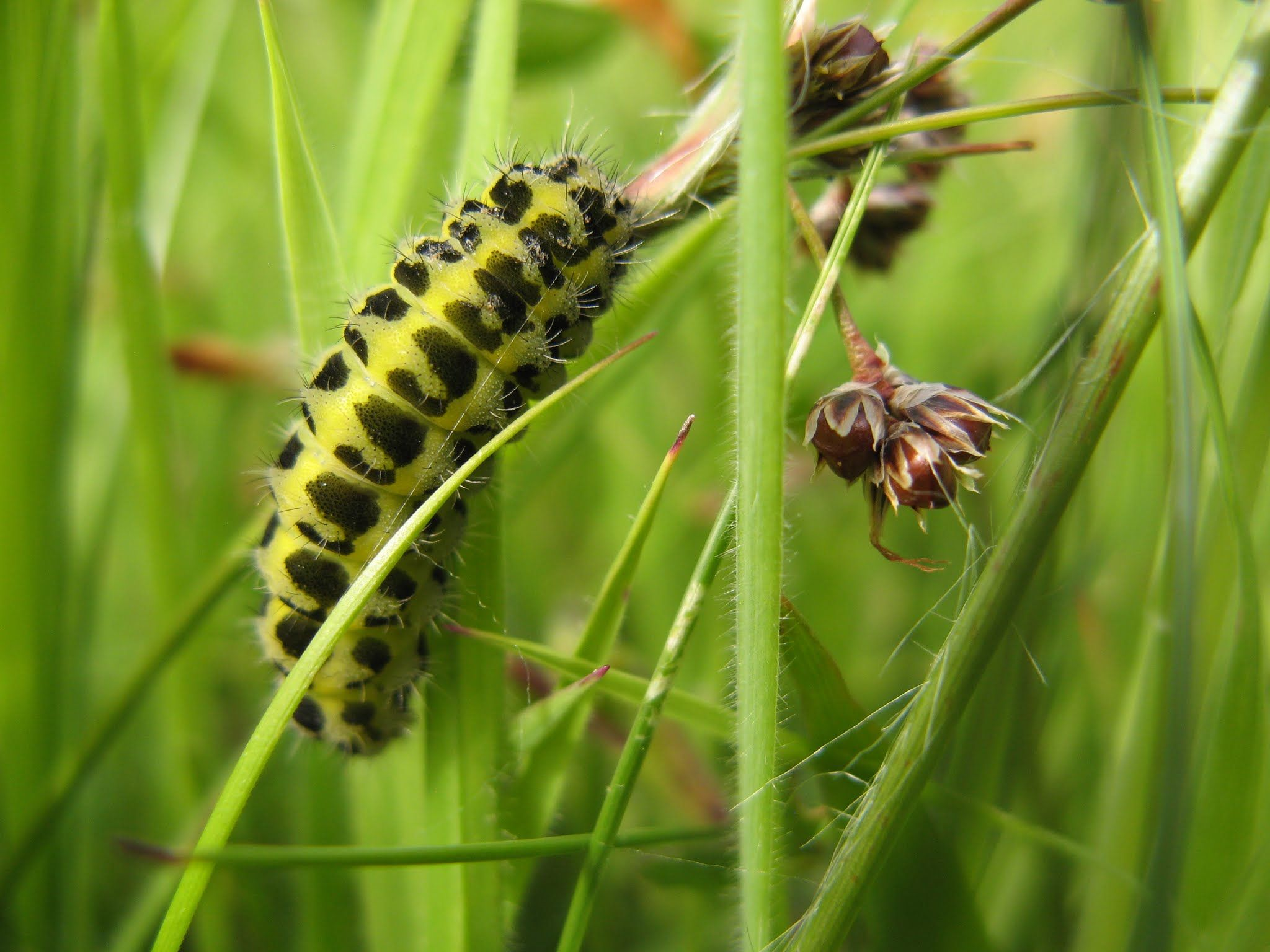 15.06.2014 - Burnet moth larva.... The Lhen