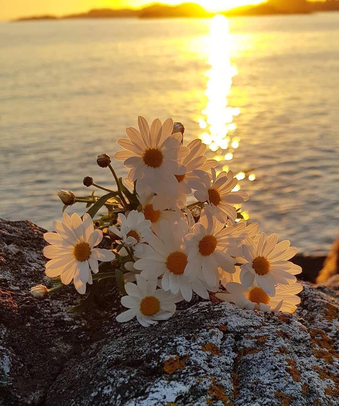 Sunrise Flowers Nature Amazing Beautiful Beautifulnature Amazingnature Lovely Poster Bunga Bunga Daisy Bunga Liar