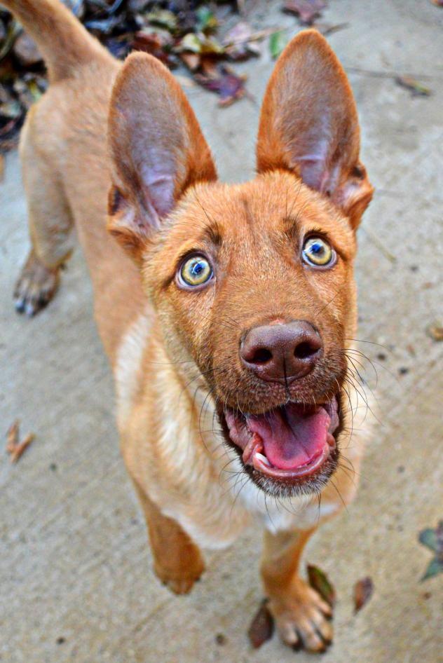 Meet Sebastion A Petfinder Adoptable Australian Kelpie Dog In Tomball Tx Petfinder Com Animals Beautiful Dog Adoption I Love Dogs