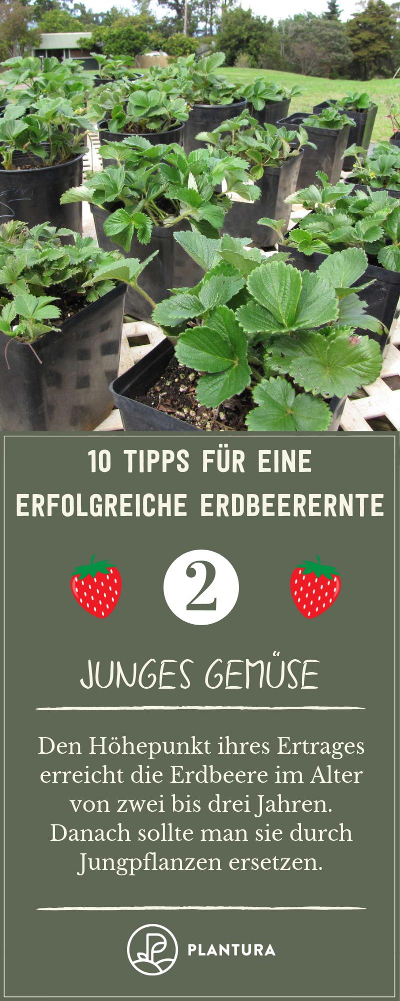 10 Tipps für eine erfolgreiche Erdbeerernte – Plantura   – Ernte aus dem eigenen Garten