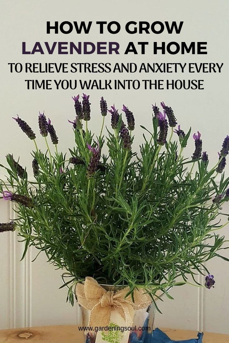 How To Grow Lavender At Home To Relieve Stress And
