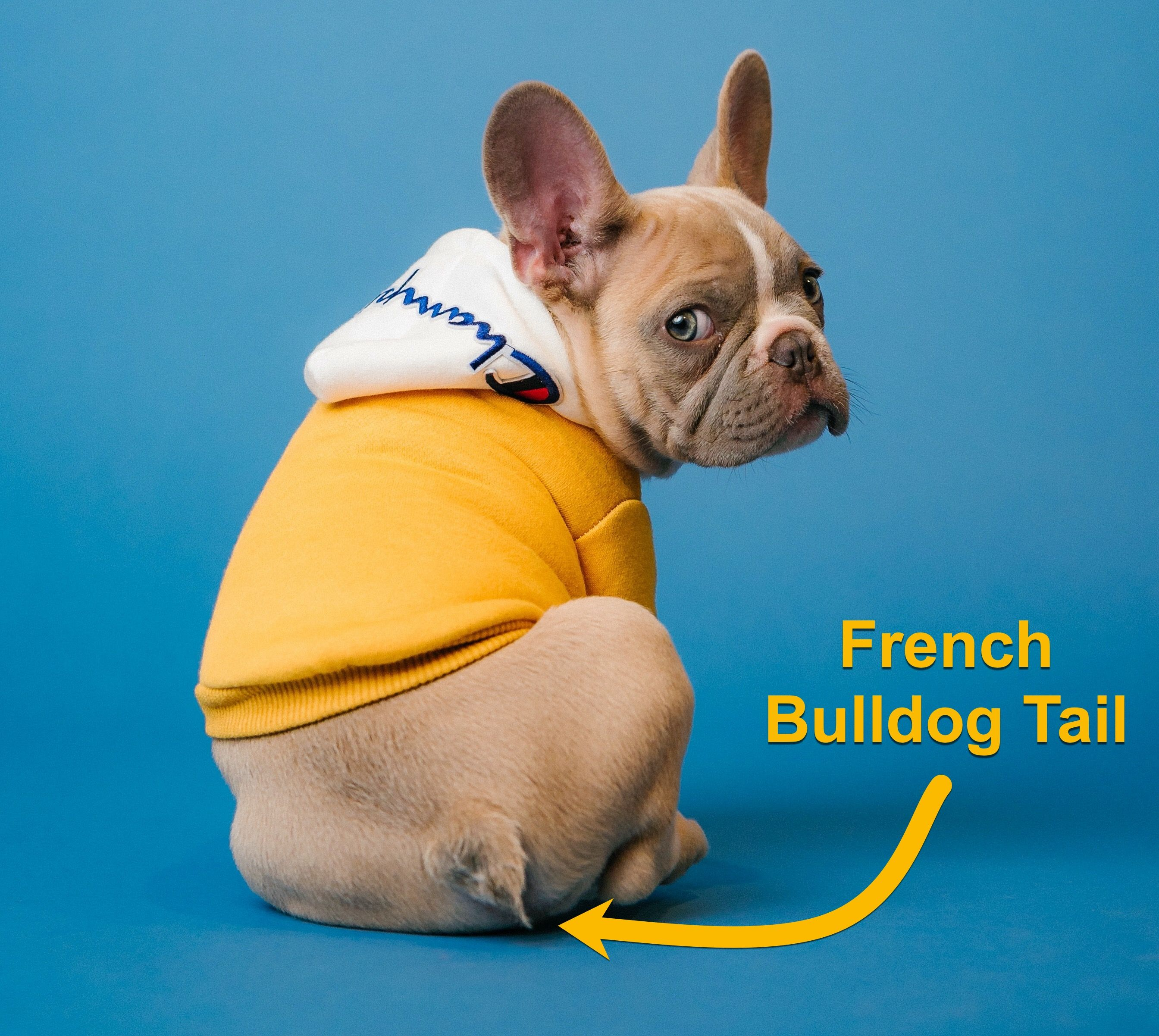 The French Bulldog Tail Is Their Tail Natural Or Is It Cropped In 2020 French Bulldog French Bulldog Owner Bulldog