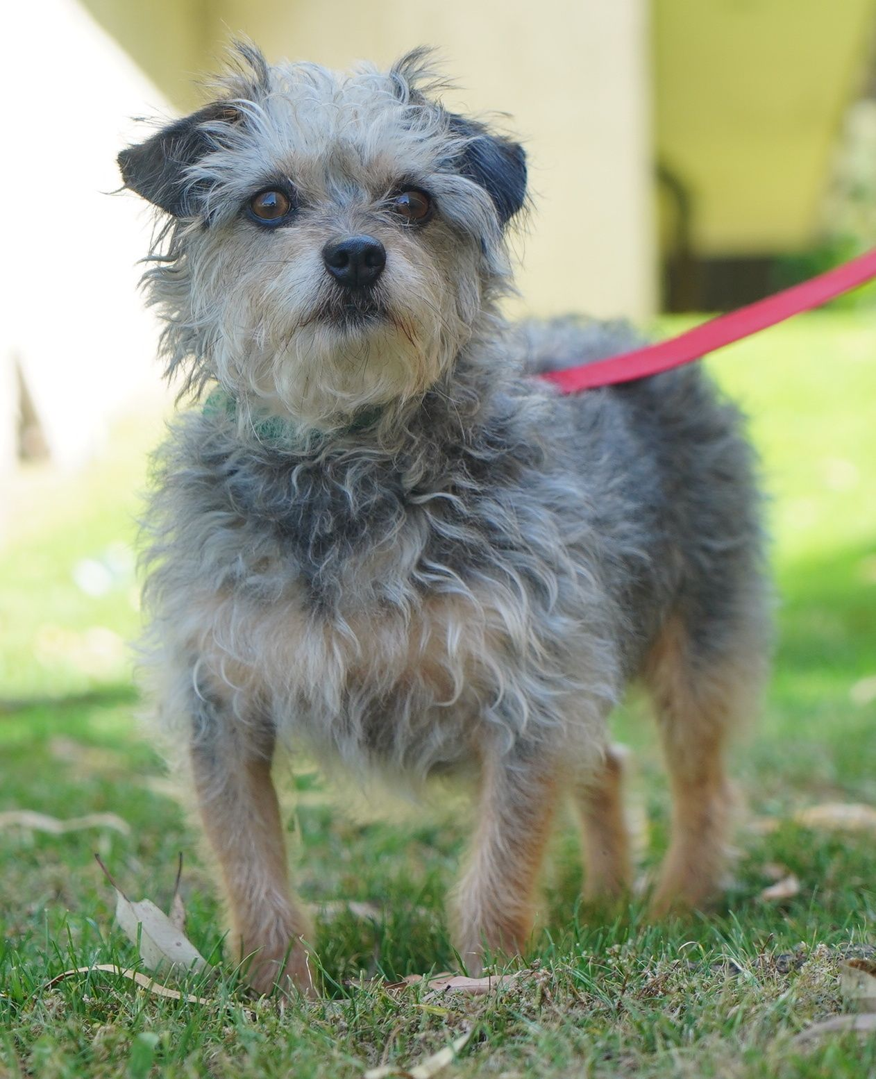 Adopt clancy on poodle mix dogs terrier poodle mix
