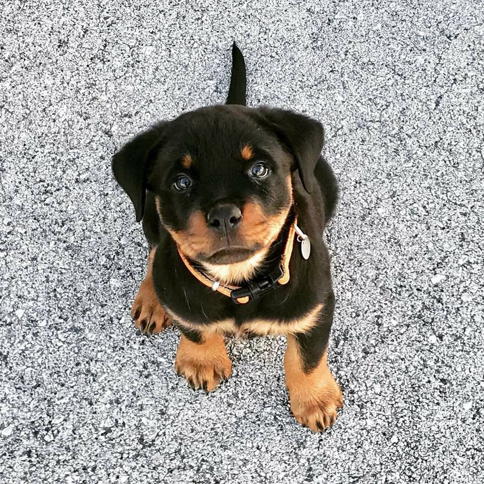 Pin By Cassie James On Ahhhhhh Rottweiler Puppies Puppies Baby Animals