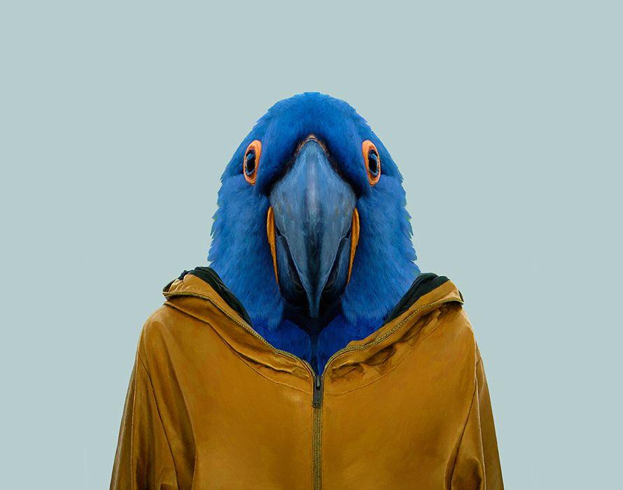 Hyacinth-Macaw---Anodorhynchus-Hyacinthinus