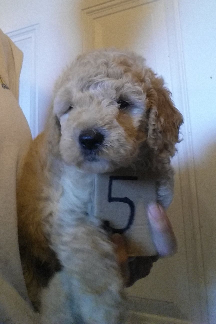 Walters Mini English Cream Doodle Puppies We Are Your Breeder Of
