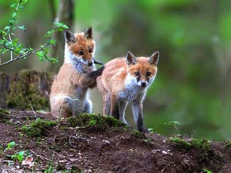 Fox Cubs Other Wallpaper ID 376667 Desktop Nexus