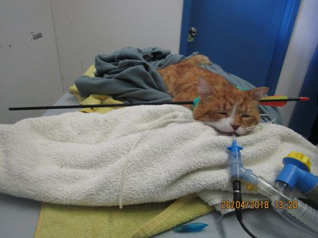 Cat found with arrow through his neck in cruel act Cats