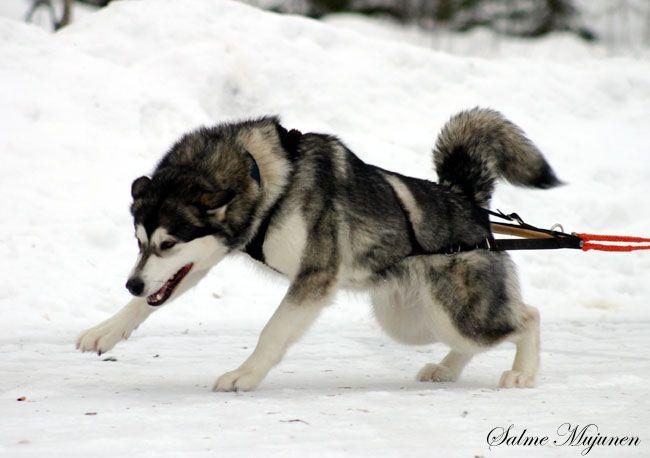 Alaskan Malamute Weight Pulling C Salme Mujunen Dog Weight