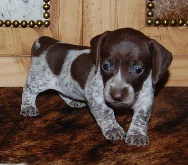 Akc Dachshunds Puppies For Sale In California Piebald Dachshund