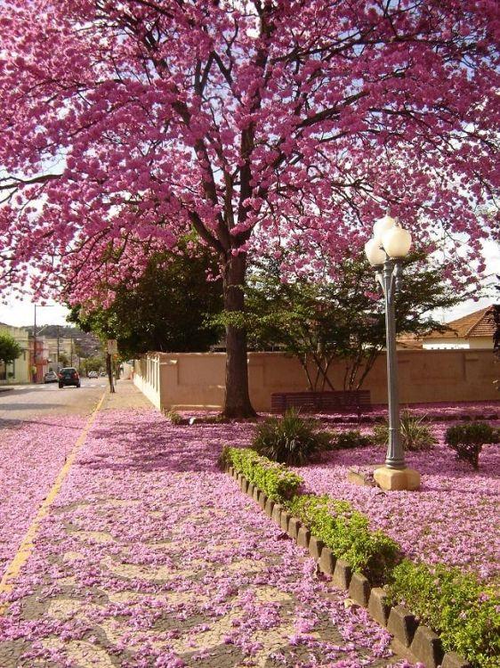 Ipê rosa - quero uma dessas na frente da minha casa... | årvore ...