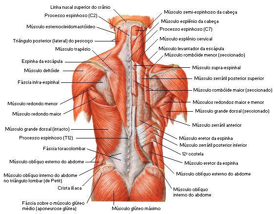 Aula de Anatomia - Sistema Muscular - Dorso http://www ...