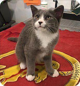 Ledgewood Nj Domestic Shorthair Meet Clyde A Kitten For Adoption Http Www Adoptapet Com Pet 17756786 Ledgewood New Jersey K Kitten Adoption Pets Kitten