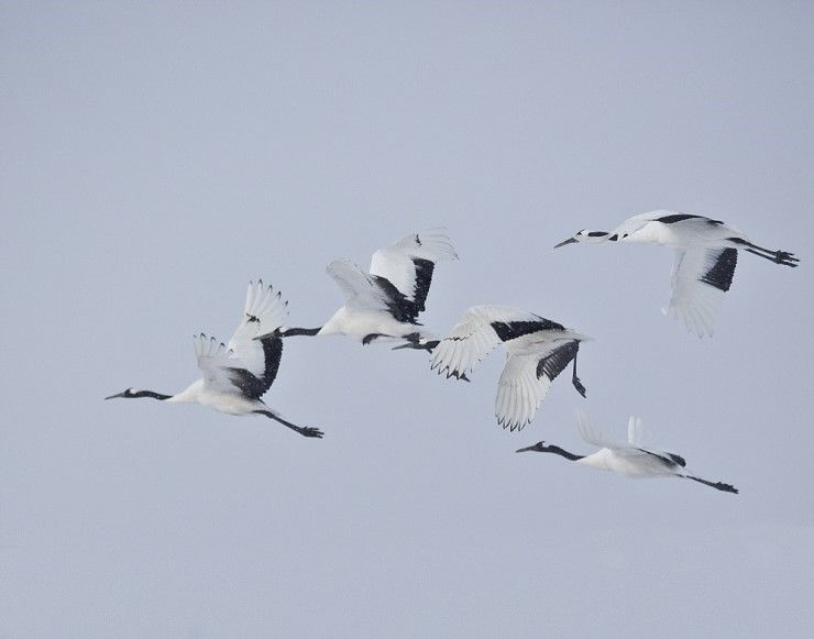 Red-crowned Cranes in #Cheorwon, near the Demilitarized zone (DMZ), Korea
